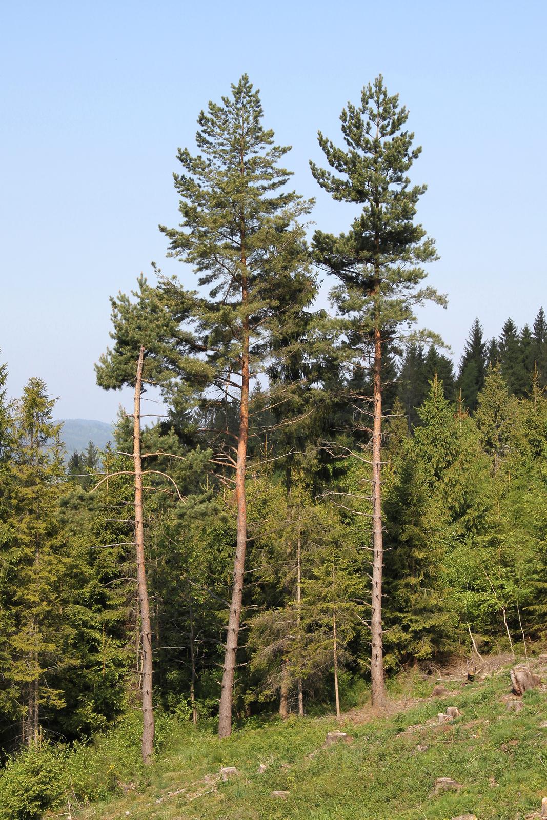 Zdjęcie przedstawiające sosny na skraju lasu. Drzewa mają wąskie, wysokie, brązowe pnie. Pnie są pozbawione gałezi na dole. Gałezie wyrastają wgórnej części pnia. Gałęzie są rozmieszczone rzadko ipodłoże pod drzewami jest oświetlone.