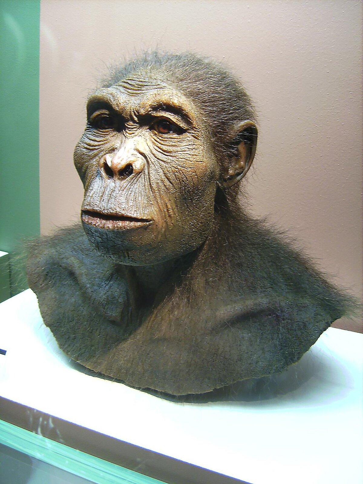Fotografia przedstawia rekonstrukcję popiersia człowieka zręcznego. Ma wały nadoczodołowe iwydatną szczękę, ale mało owłosioną twarz. Duże brązowe oczy iuszy zprzyrośniętym płatkiem.