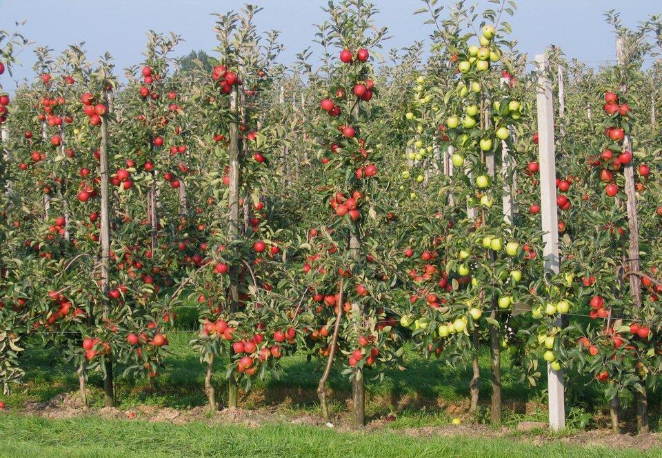 Na zdjęciu sad. Wrównych rzędach jabłonie przywiązane do słupków, na drzewach bardzo dużo czerwonych jabłek, na jednym drzewie zielone jabłka.