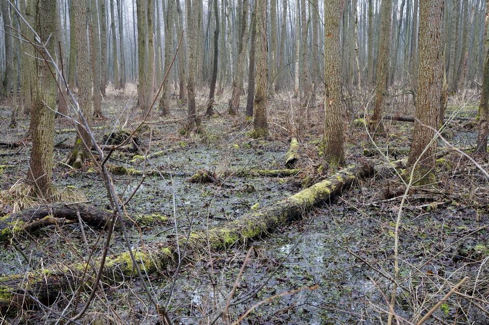 Fotografia przedstawia wnętrze bagiennego lasu. Wiele pni drzew leży wpodmokłym gruncie. Są obrośnięte mchem iporostami. To bagna wKampinoskim Parku Narodowym.