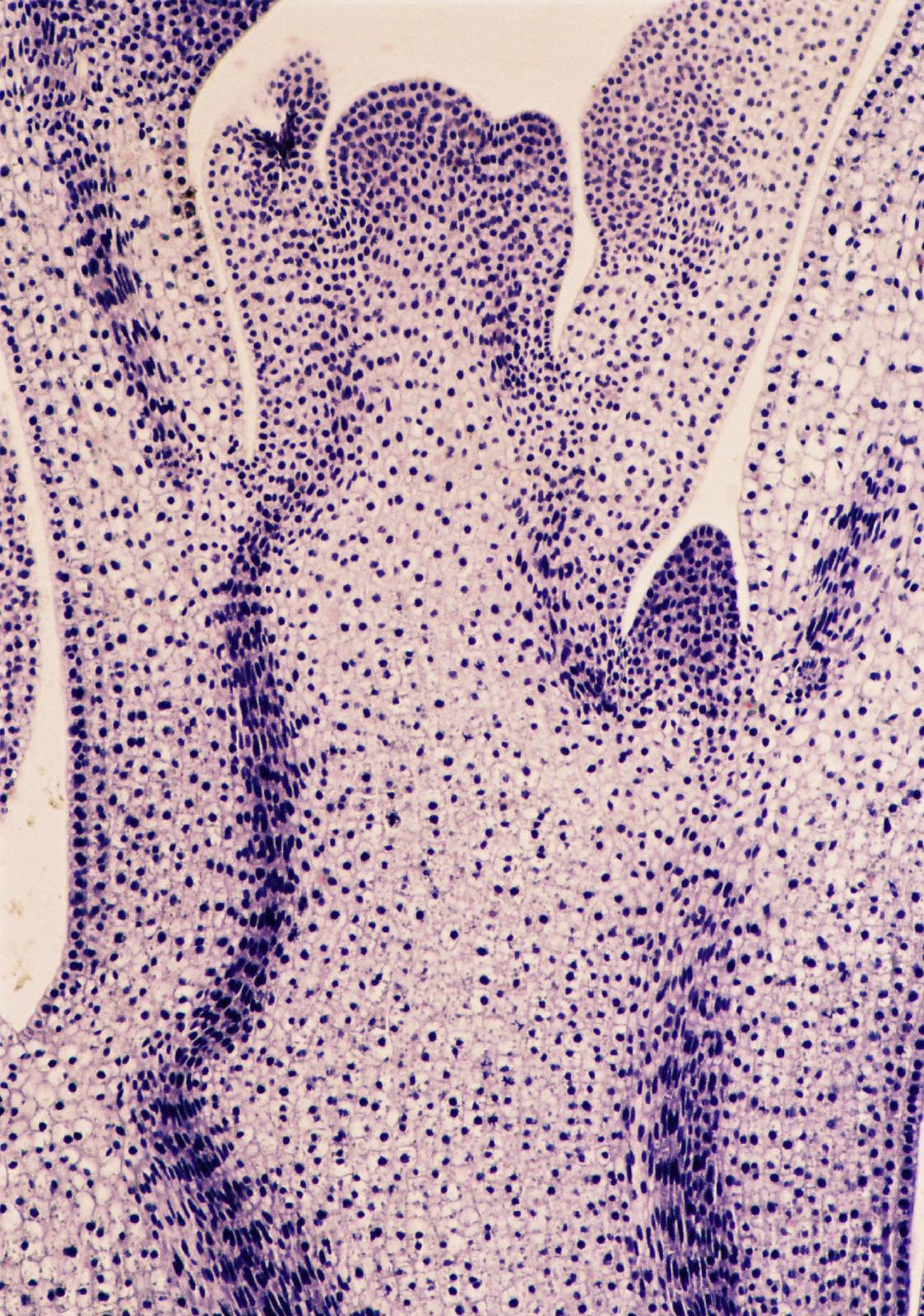 Mikrofotografia przedstawiajaca przekrój podłużny przez stożek wzrostu pędu. Komórki zabrwione na fioletowo, cienkościenne odużych jądrach.