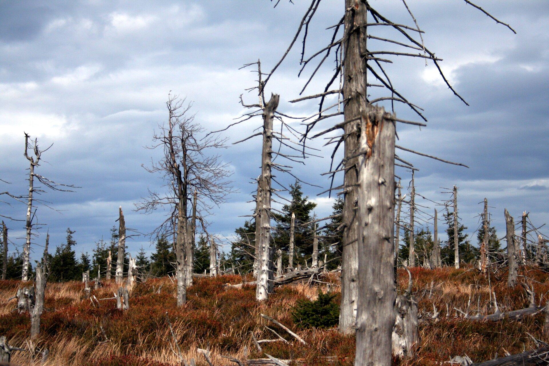 Fotografia przedstawia kilkanaście szarych, wyschniętych pni drzew ze sterczącymi gałęziami. Stoją na górskim zboczu wzrudziałej trawie. To martwy las wGórach Sowich. Za nim rosną ciemnozielone świerki.