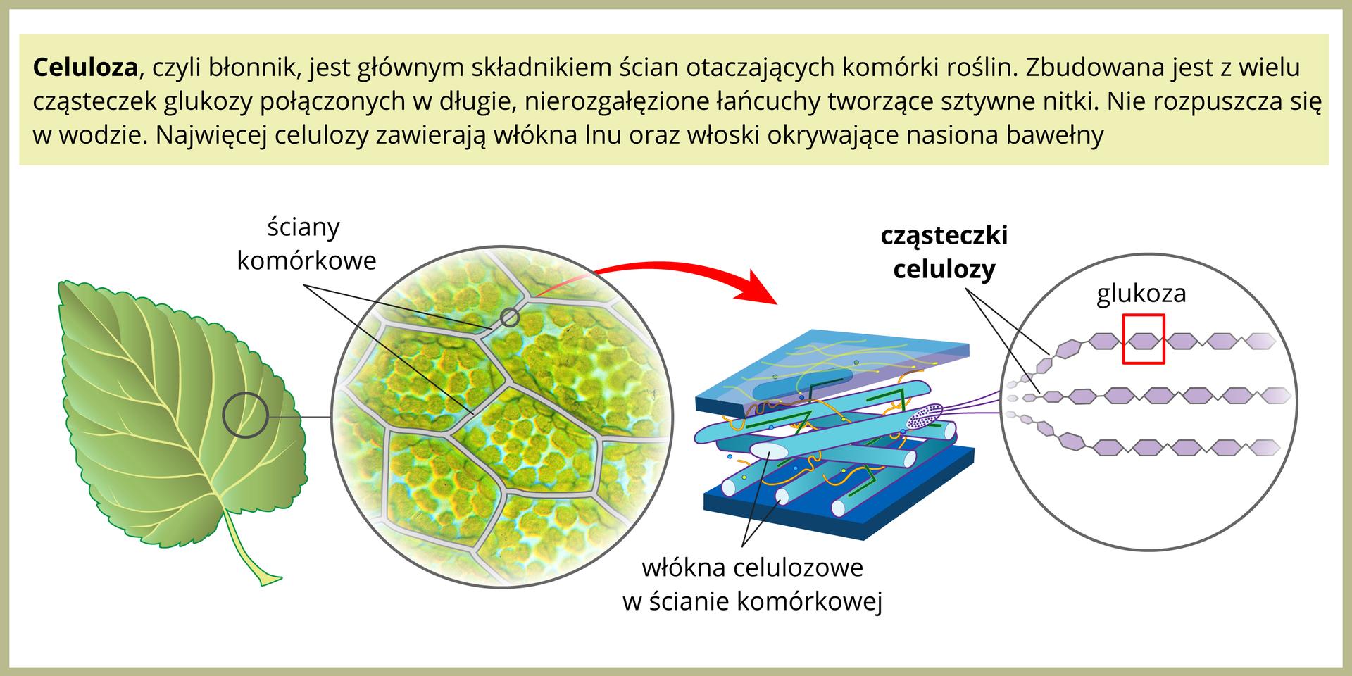 Ilustracja przedstawia po lewej zielony liść. Wprawo znajduje się powiększenie kilku komórek liścia, oddzielonych od siebie białymi ścianami. Czerwona strzałka prowadzi wprawo do powiększenia ściany komórkowej, złożonej zbłękitnych włókien celulozy, ułożonych warstwami na przemian. Dalej po prawej znajduje się powiększenie cząsteczki celulozy, zbudowanej zwielu fioletowych sześciokątów, czyli cząsteczek glukozy.