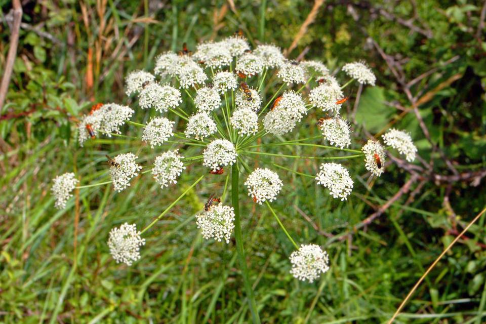 Fotografia przedstawia wzbliżeniu rozpierzchły baldach obiałych kwiatach. To kwiatostan okrzyna jeleniego. Na kilku kwiatach są pomarańczowe, smukłe owady.