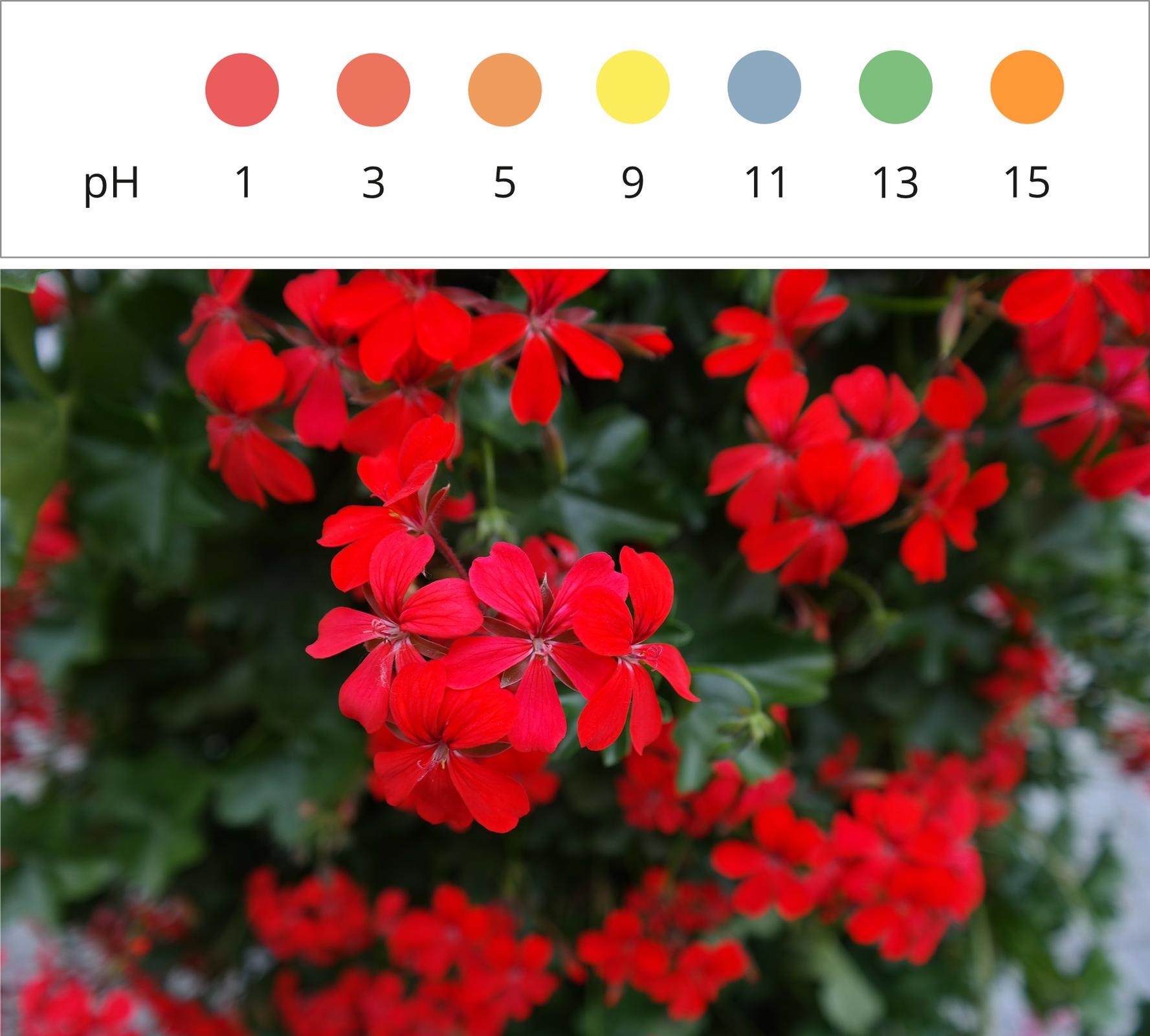Ilustracja przedstawia wykonane zbliska zdjęcie czerwonych kwiatów pelargonii wpełnym rozkwicie. Nad zdjęciem znajduje się skala barwna informująca otym, jak zmienia się kolor kwiatów wzależności od odczynu środowiska. Płatki naturalnie czerwone wkontakcie zsubstancjami oróżnym roztworze zmieniają kolor na jasnoczerwony przy pH 3, pomarańczowy przy pH 5, żółty przy pH 9, bladoniebieski przy pH 11, zielony przy pH 13 iintensywnie pomarańczowy przy pH 15.