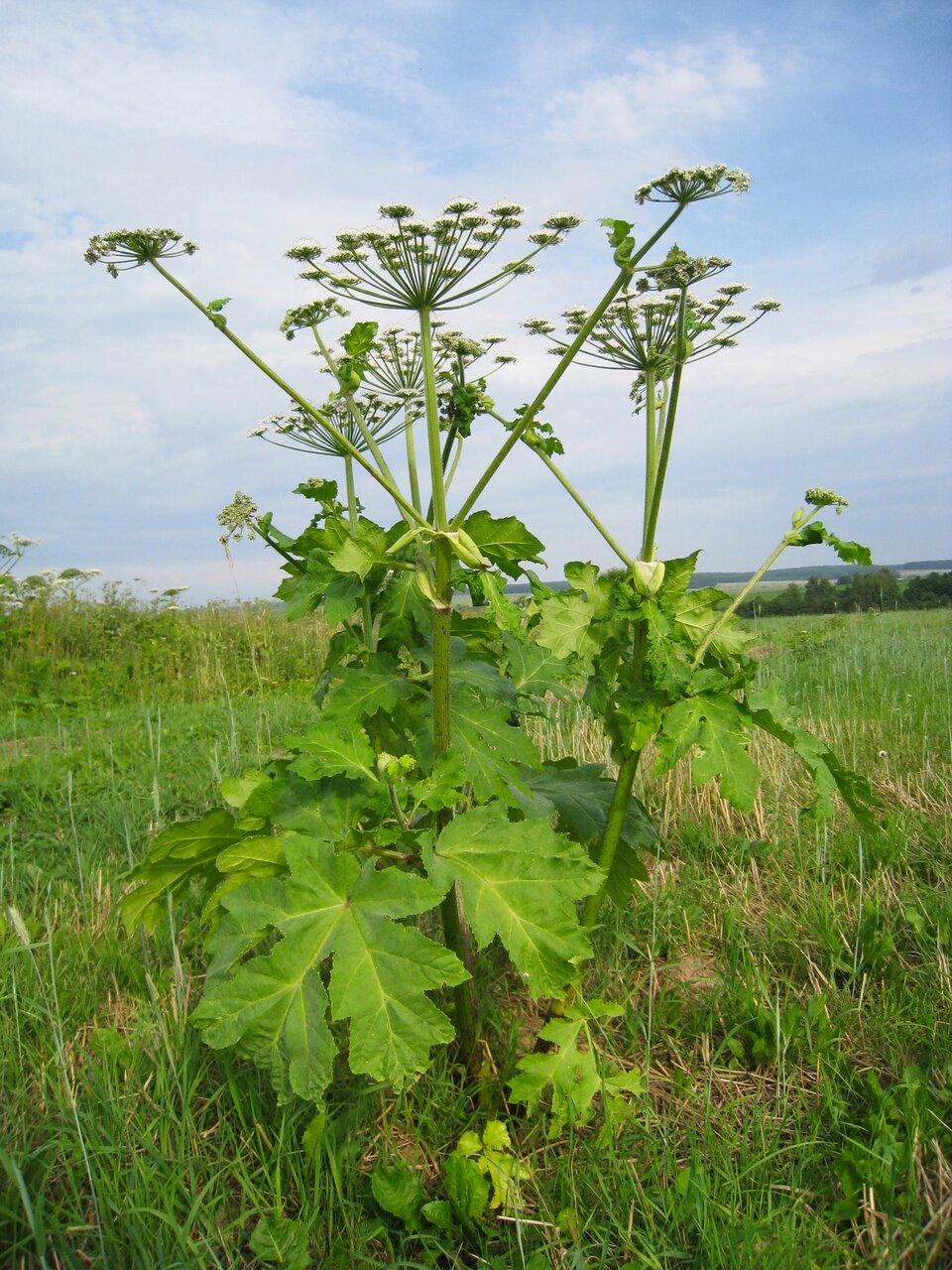 Fotografia przedstawia łąkę, na której rośnie Barszcz Sosnowskiego. Jest to silnie toksyczna roślina. Dotknięcie jej skutkuje pojawieniem się na skórze pęcherzy izaczerwieniania.