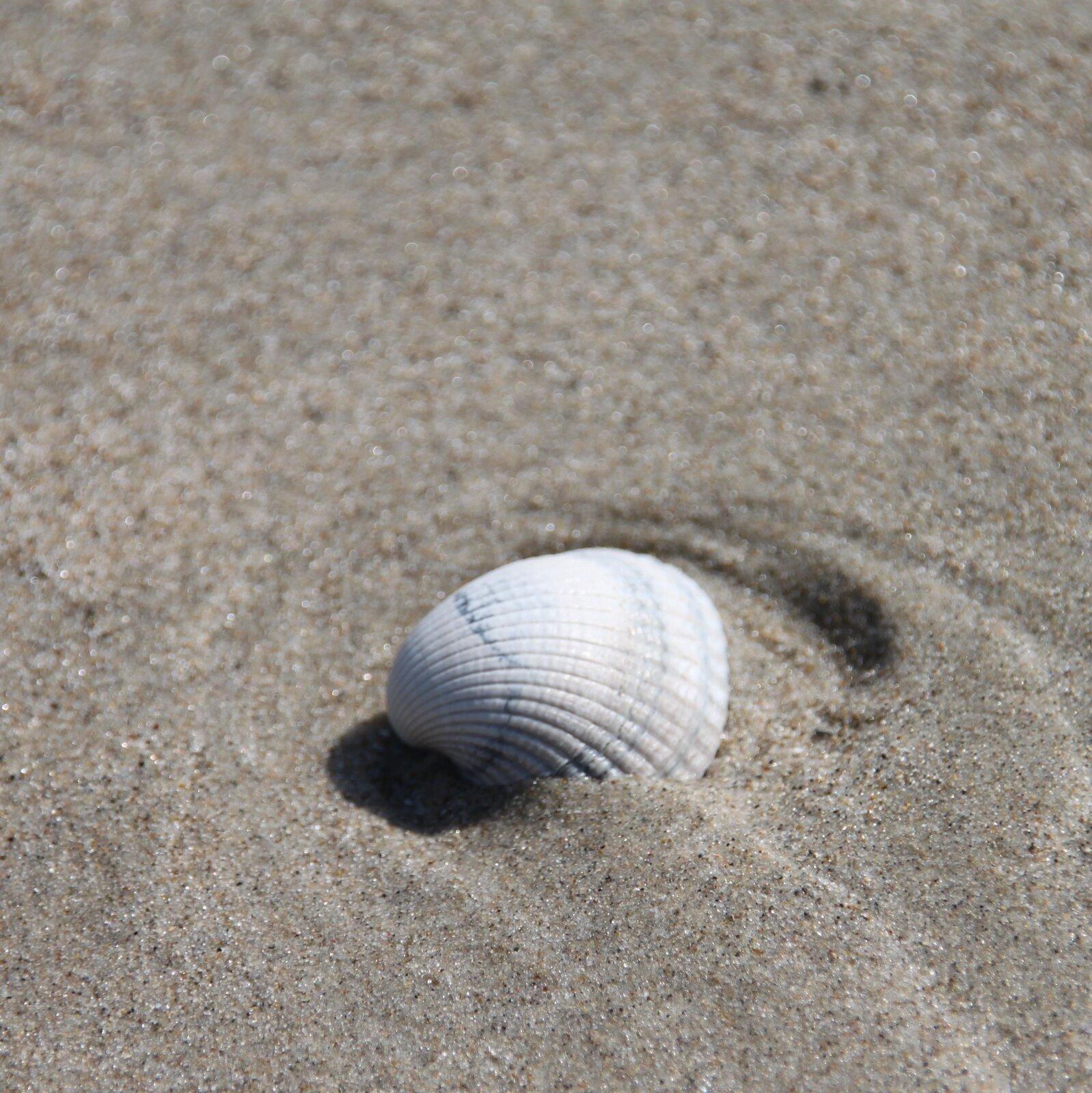 Fotografia prezentuje białą muszlę sercówki leżącą na szarym piasku. Muszla jest owalna ima wyraźne zgrubienia rozchodzące się wachlarzowato zjednego miejsca ku przeciwległemu brzegowi muszli.