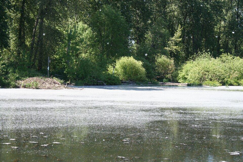Zdjęcie przedstawia zbiornik wodny. Słoneczny dzień. Zbiornik to staw. Powierzchnia wody nieruchoma, gładka. Na powierzchni unoszą się duże ilości żółtego pyłku. Pyłek jest tak gęsty, że odbicia drzew nad brzegiem wody nie są widoczne. Dokładnie wpołowie zdjęcia linia horyzontu. Wokół zielone wysokie liściaste drzewa. Na samym brzegu rozłożyste krzewy.