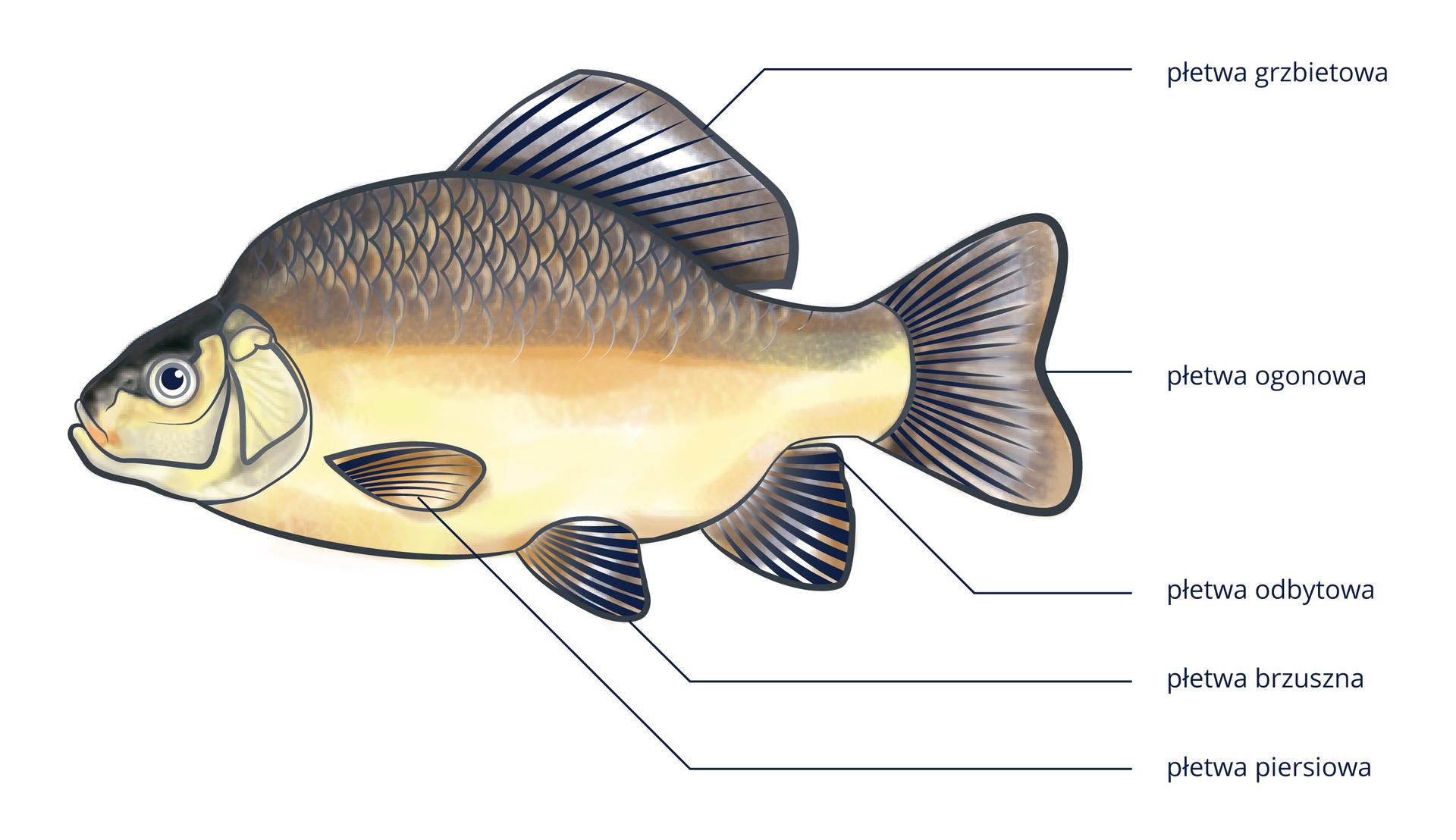 Ilustracja przedstawia rybę widoczą zlewej strony. Głowa ryby jest skierowana wlewo. Za głową ryby widać płetwy piersiowe. Za nimi na spodzie ciała ryby są płetwy brzuszne. Za nimi na spodniej stronie jest płetwa odbytowa. Na grzbiecie znajduje się płetwa grzbietowa. Na końcu ciała jest płetwa ogonowa.