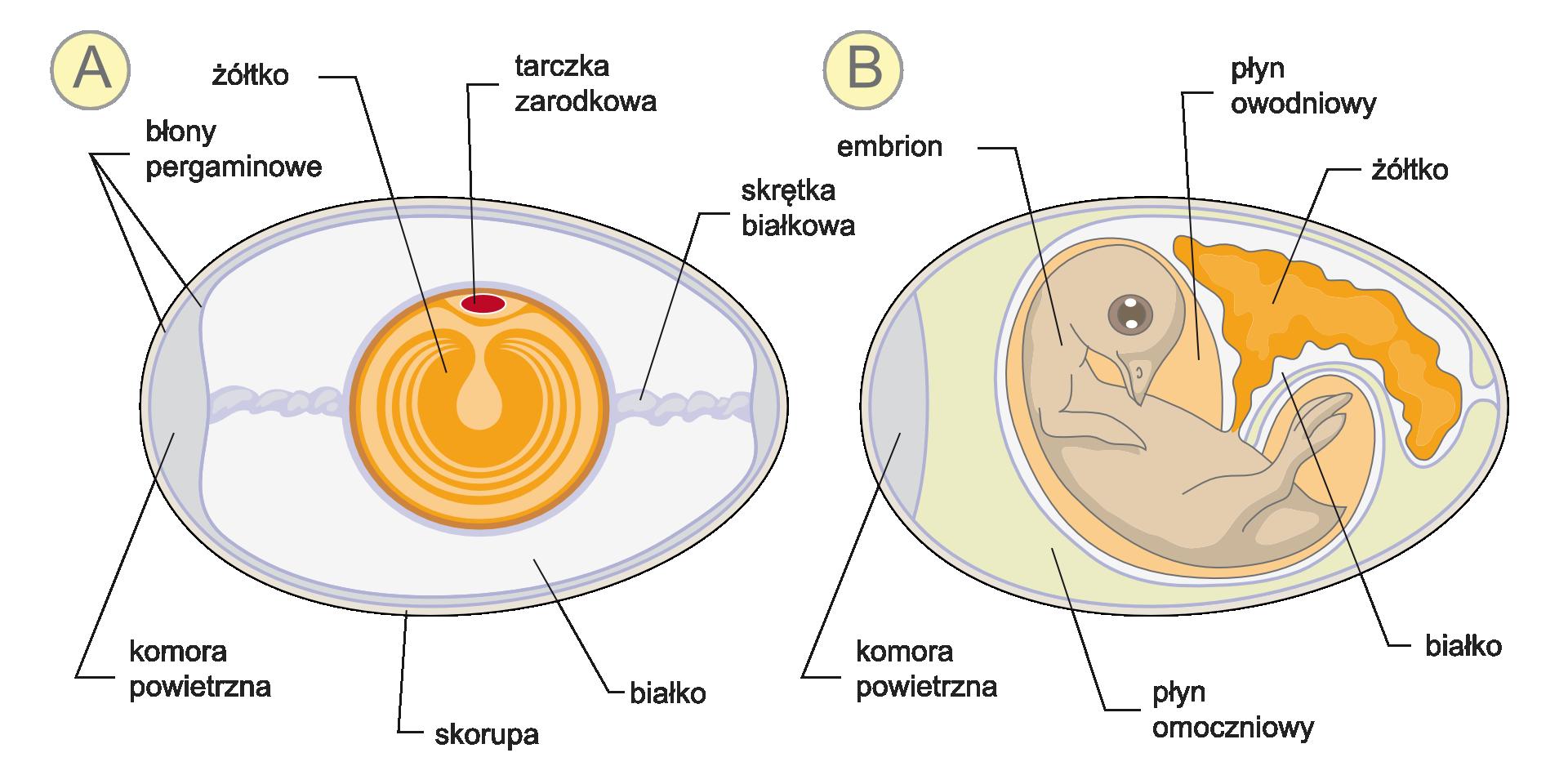 Galeria zawiera ilustracje, przedstawiające budowę kurzego jaja przed ipo zapłodnieniu.Dwa rysunki obok siebie ukazują części jaja niezapłodnionego izawierającego embrion. Te same części mają tę samą barwę. Wjaju zlewej na szaro zaznaczono białko. Wpoziomie ciemniejszym kolorem oznaczono skrętki białkowe, apo lewej komorę powietrzną. Podpisano niebieskie błony pergaminowe ibiałą skorupę. Wcentrum znajduje się kula żółtka zjaśniejszymi kręgami. Na niej czerwona tarczka zarodkowa. Wjaju po prawej zmniejszyła się ilość białka ażółtko jest przesunięte wbok ima nieregularny kształt. Wcentrum znajduje się zwinięty beżowy zarodek zgłową ugóry, zdużymi, ciemnymi oczyma. Wokół zarodka pomarańczowy płyn owodniowy iszary płyn omoczniowy.