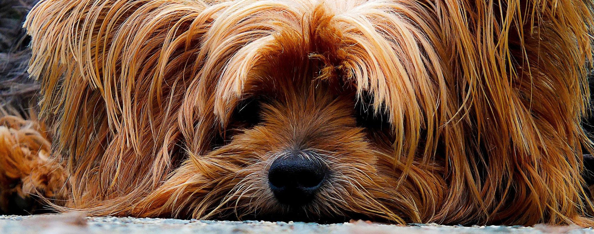 Pies smutny Źródło: licencja: CC 0.