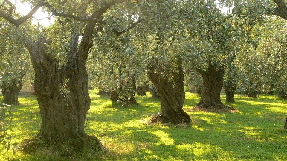 Stare drzewa oliwkowe. Bardzo grube pnie, rozłożyste korony.