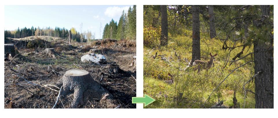 Fotografia po lewej stronie ukazuje teren po wyrębie lasu, brak roślin iwidoczne ścięte pnie drzew. Obok ten sam teren porośnięty drzewami, krzewami, trawą, widoczna sarna.
