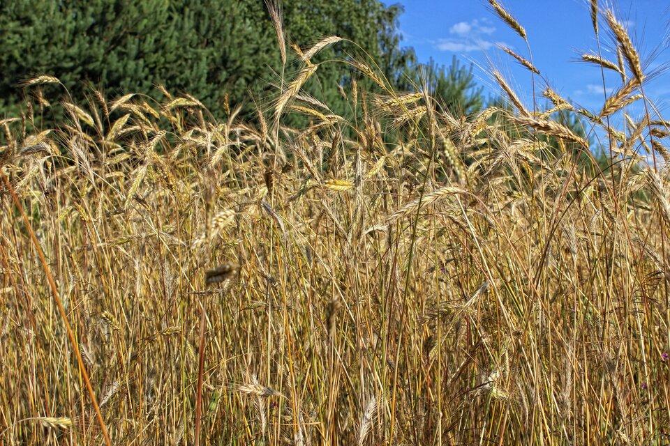 Na zdjęcie pole pszenicy, dojrzałe kłosy.