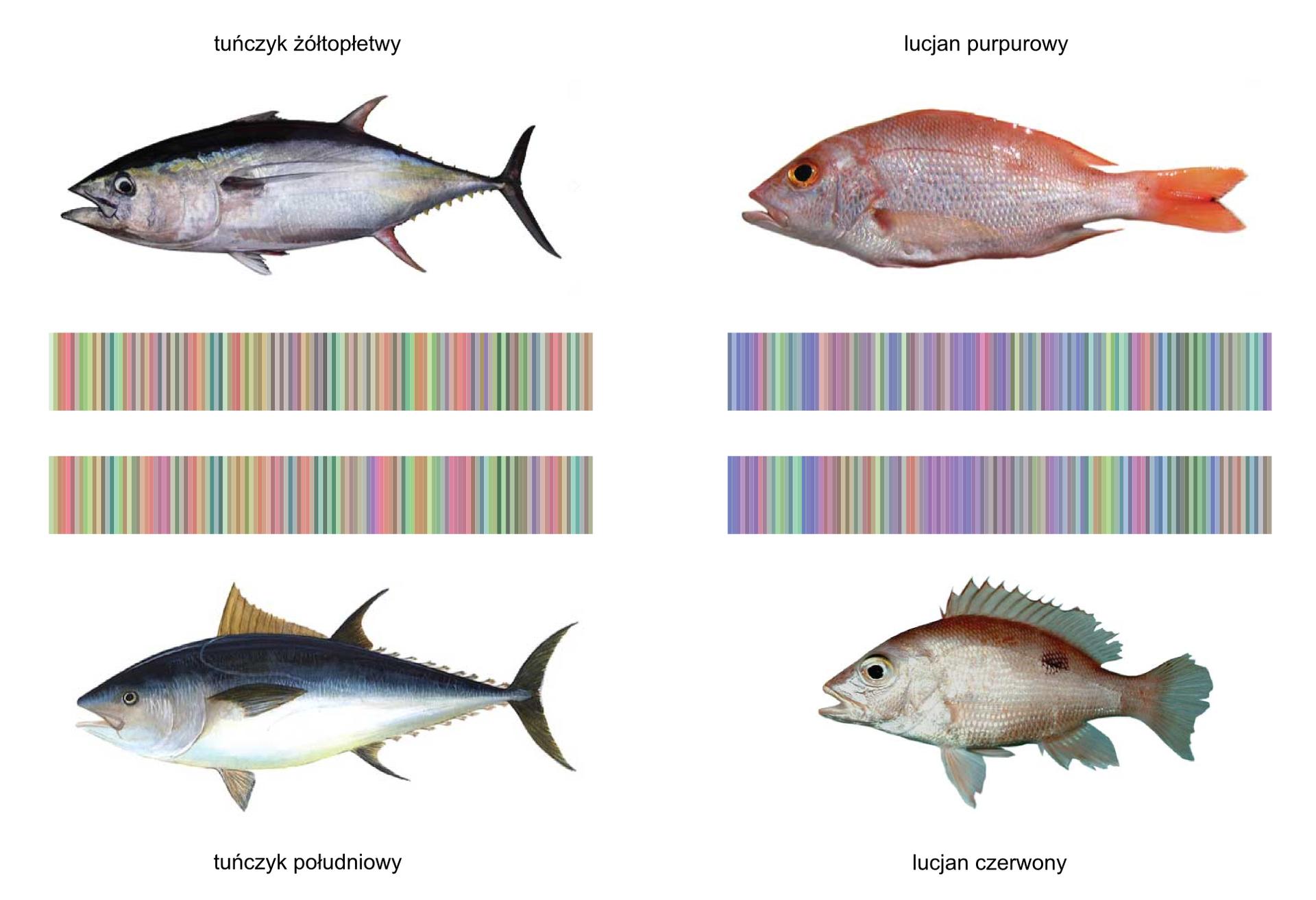 Fotografia przedstawia cztery ryby różnych gatunków wdwóch rzędach. Wśrodku znajdują się cztery kolorowe kody kreskowe, odpowiadające poszczególnym rybom.