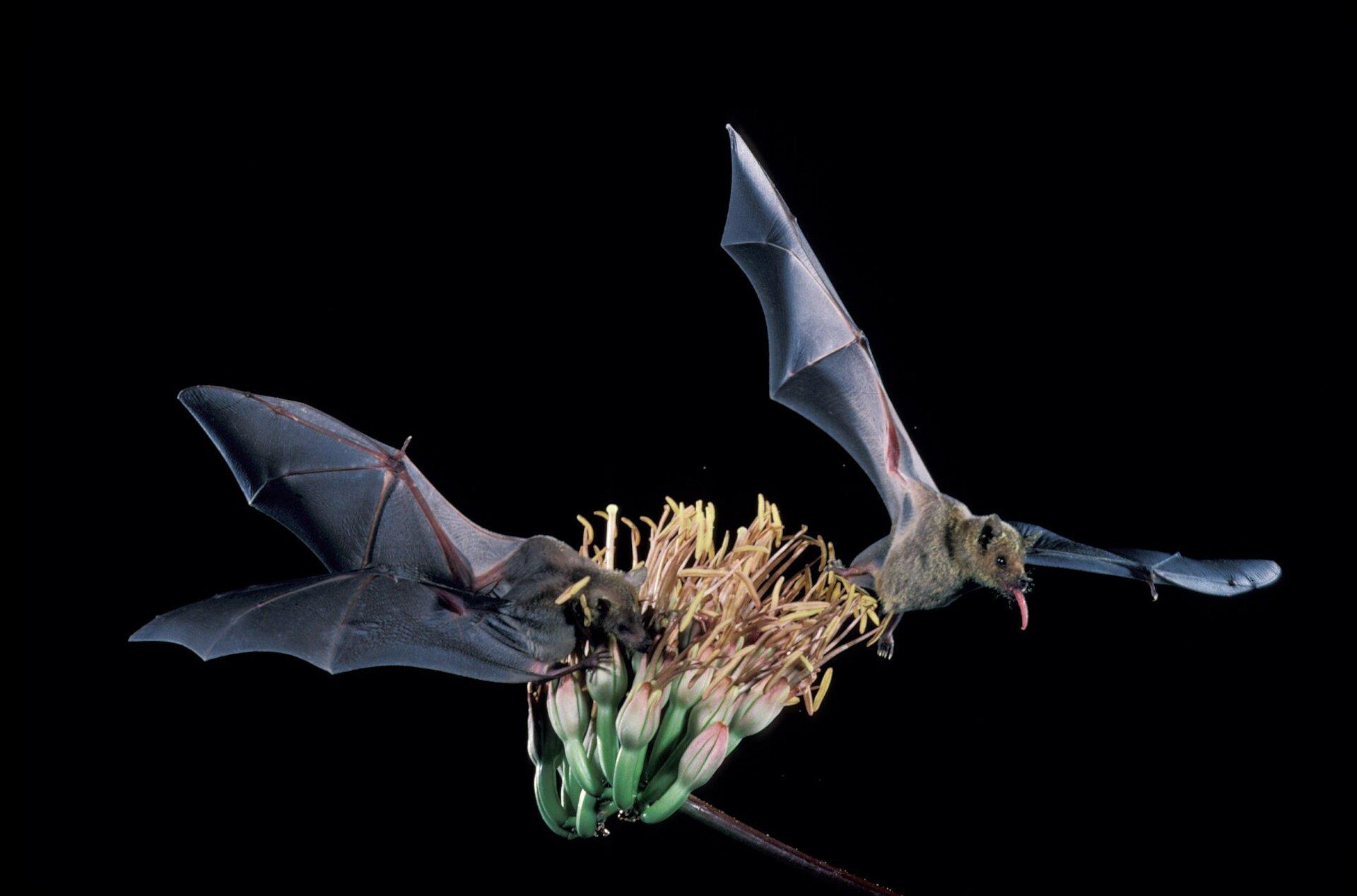 Zdjęcie przedstawia proces zapylania kwiatów przez dwa nietoperze. Wdolnej części zdjęcia zielony kwiatostan. Długie bananowate kwiaty. Dolna część kwiatów zielona. Górna część wformie stożka jasnoróżowa. Zkońca kwiatów wyrastają długie pylniki. Długość około dwadzieścia centymetrów. Po lewej iprawej stronie kwiatu dwa nietoperze. Nietoperze mają rozpostarte błoniaste skrzydła. Nietoperz po prawej stronie ma wysunięty język. Po lewej stronie nietoperz sięga językiem do nektaru kwiatów.