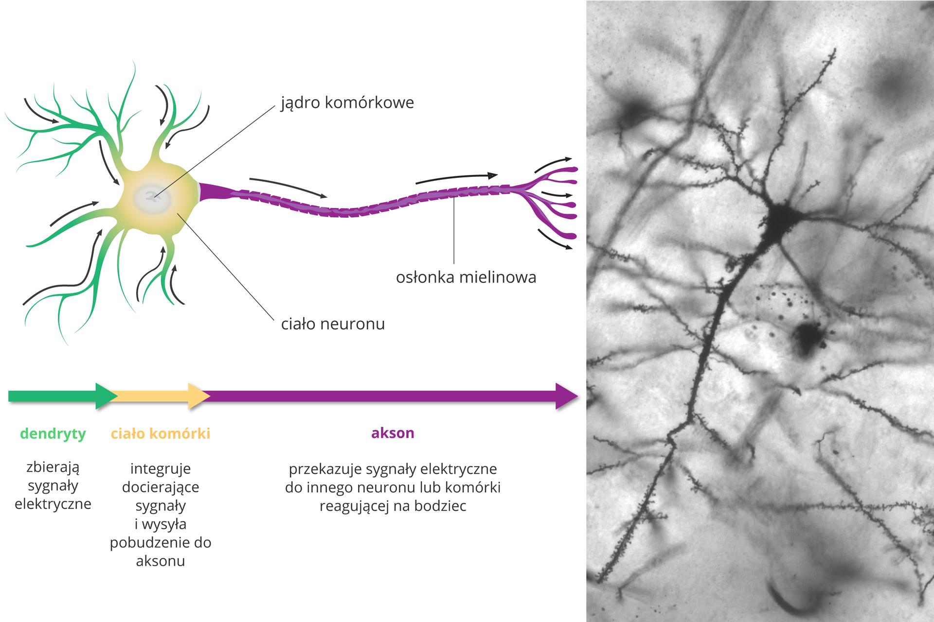 Ilustracja składa się zrysunku komórki nerwowej, schematu jej działania oraz fotografii zmikroskopu elektronowego. Neuron wygląda jak drzewko, leżące poziomo. Zlewej krótkie zielone wypustki to dendryty. Strzałki wskazują, że zbierają sygnały elektryczne iprowadzą je do żółtego ciała komórki. Jej zadaniem jest integracja sygnałów ipobudzenie fioletowego aksonu. Akson przekazuje sygnały elektryczne do innego neuronu lub komórki, reagującej na bodziec. Akson ma na zewnątrz przerywaną osłonkę mielinową. Fotografia przedstawia pojedynczą, czarną komórką nerwową na tle innych, nieostrych.