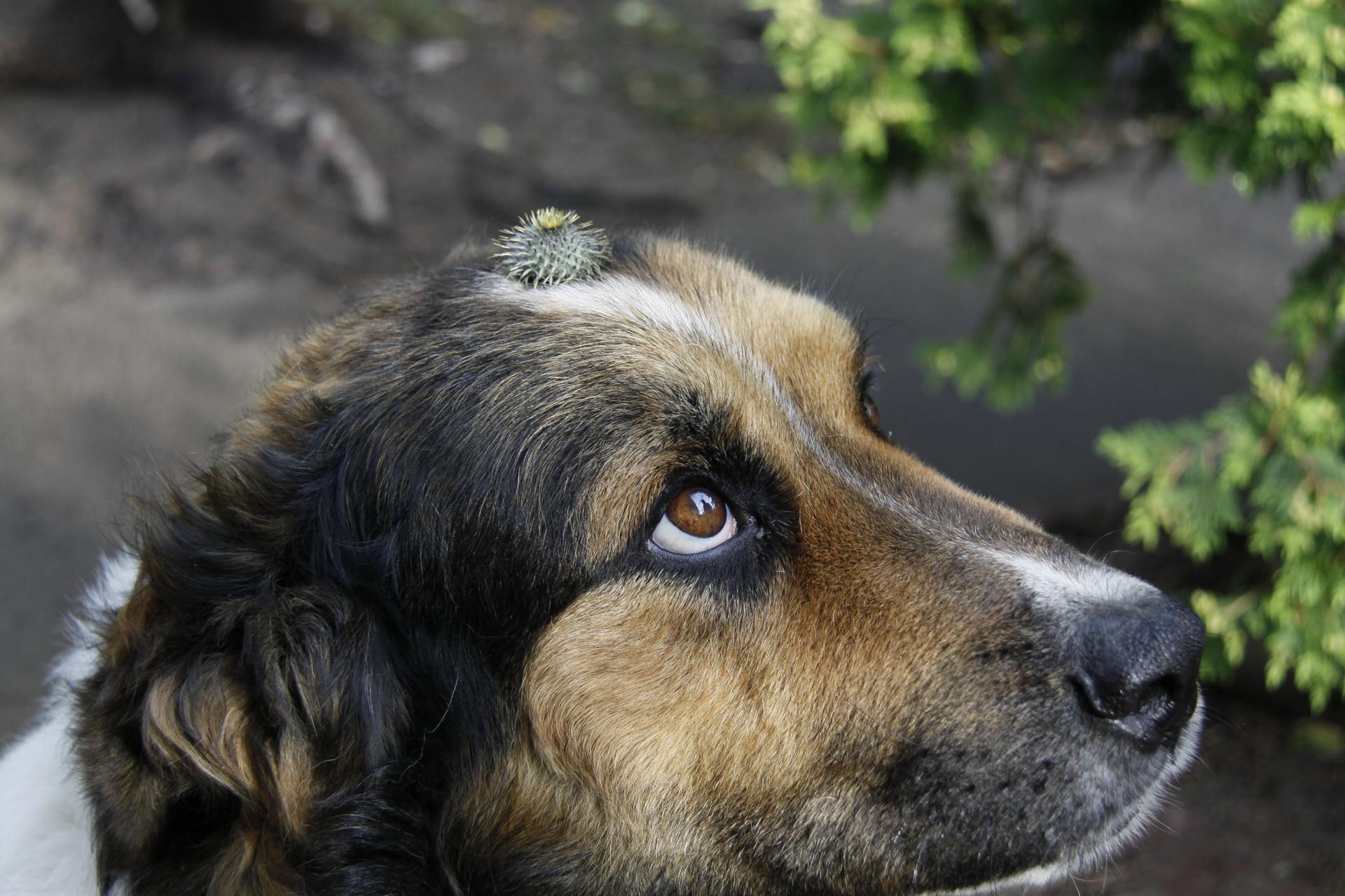 Galeria zdjęć owocu łopianu czyli rzepy wczepione wsierść zwierzęcia - psa.