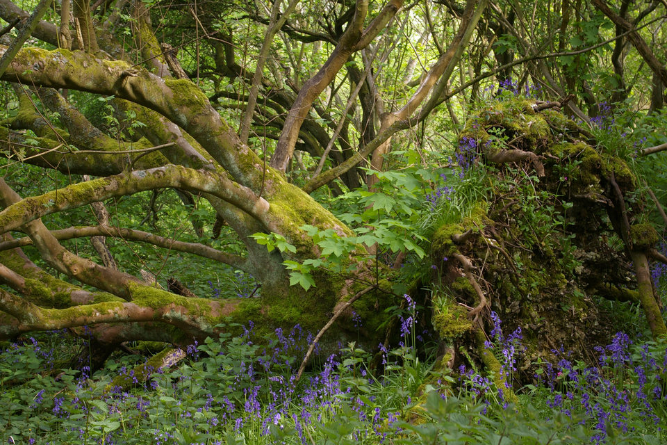 Fotografia przedstawia przewrócone, rozłożyste drzewo okilku pniach. Jego pnie są obrośnięte zielonym mchem. Po prawej wznoszą się wyrwane zziemi korzenie drzewa, obrośnięte zielonymi roślinami zniebieskimi kwiatami. Przy zwalonym pniu rośnie małe drzewko – jawor.