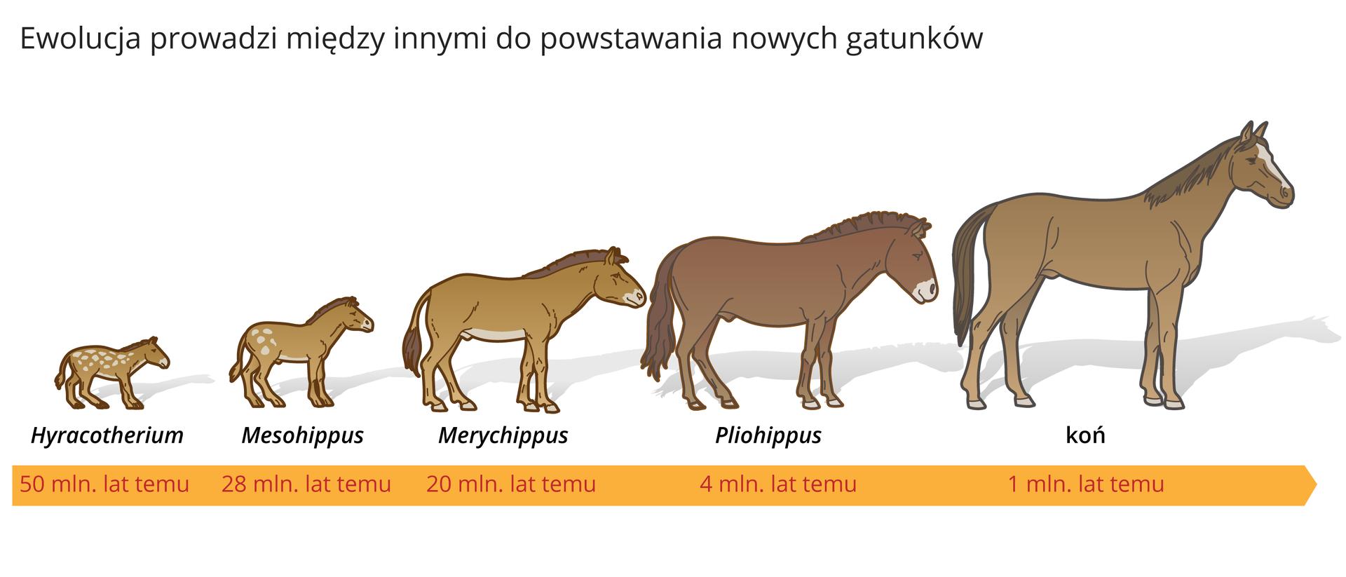 Ilustracja procesu powstawania nowych gatunków na przykładzie pięćdziesięciu milionów lat ewolucji konia.