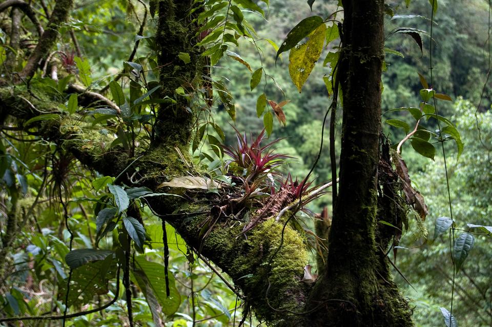 Fotografia przedstawia ukośny gruby konar, zktórego wgórę rosną dwa duże ikilka mniejszych konarów. Na ukośnym konarze rosną trzy różowe rośliny, zwane epifitami. Wokół znajdują się różne liście.