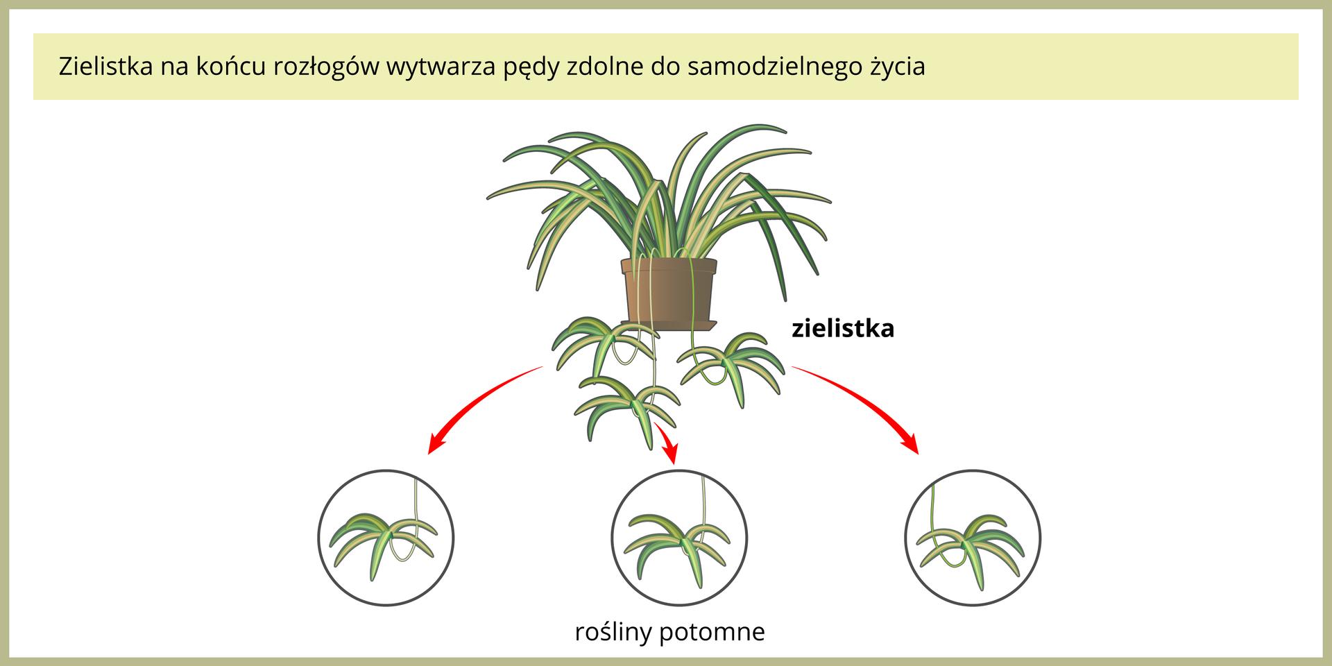 Ilustracja przedstawia roślinę doniczkową, zwaną zielistką. Ma ona długie, wąskie, jasnozielone liście. Ma też długie łodyżki zkępkami liści na końcach. Czerwone strzałki wskazują te roślinki potomne wzbliżeniu. Jest to rozmnażanie przez rozłogi