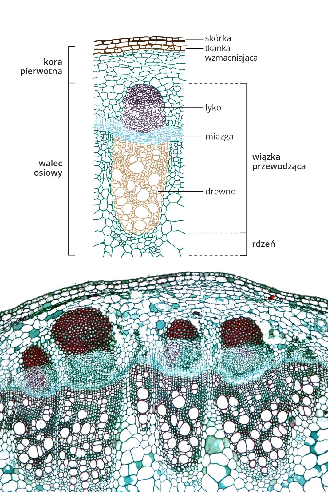 Ilustracja przedstawia wpołowie fotografię, wpołowie rysunek tkanek na przekroju poprzecznym przez łodygę rośliny dwuliściennej. Tkanki oznaczono różnymi kolorami.