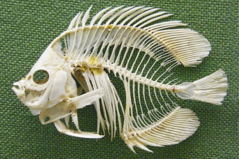 Fotografia przedstawia kremowy szkielet ryby na zielonej tkaninie. Czaszka zlewej.