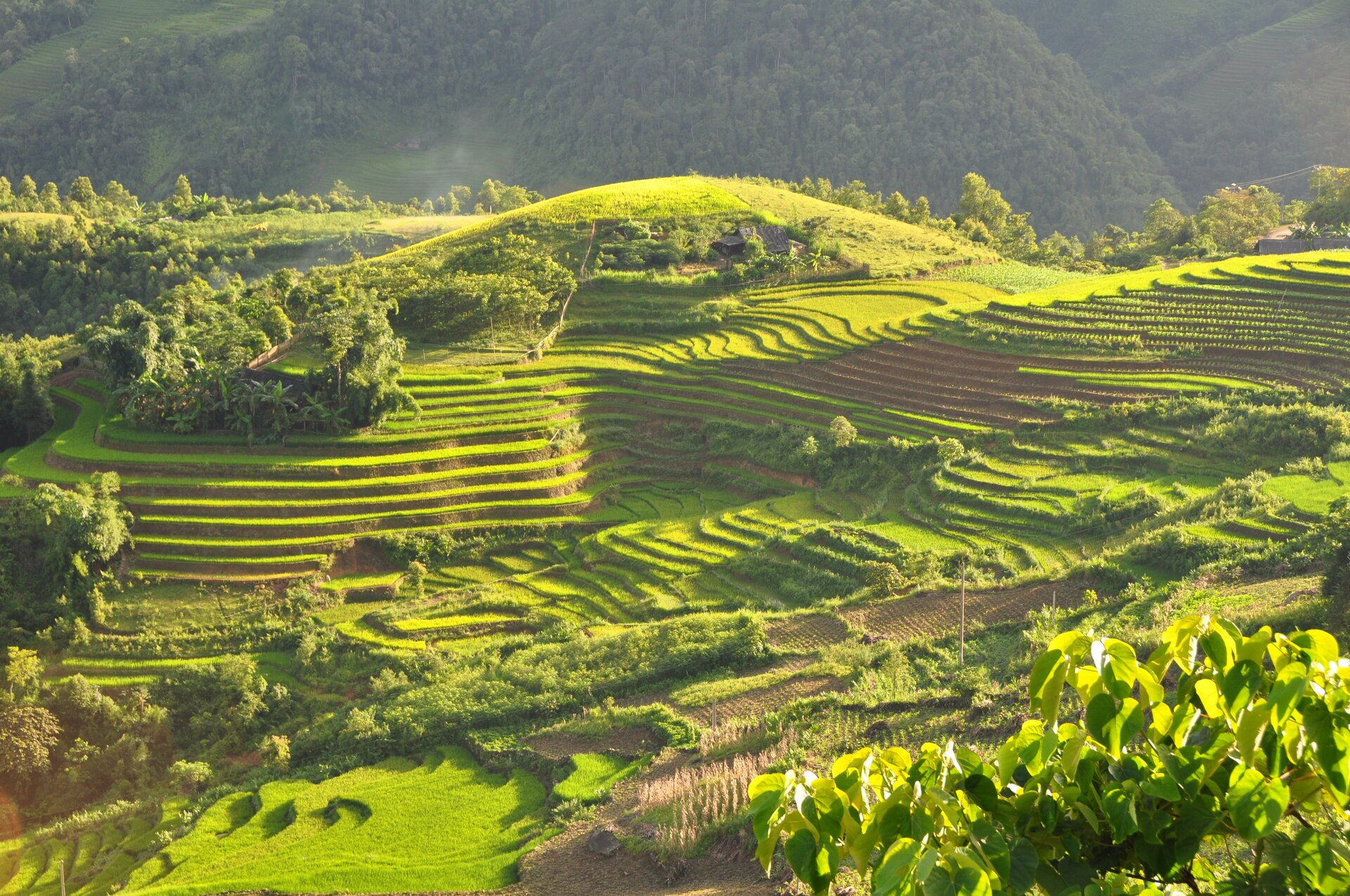 Zdjęcie przedstawia pola ryżowe wWietnamie. Słoneczny dzień. Teren górzysty. Stoki olekkim łagodnym nachyleniu. Stoki pokryte kaskadami pól ryżowych. Gdzieniegdzie pomiędzy tarasami niskie zielone drzewa. Wtle wysokie góry pokryte gęsto rosnącymi zielonymi drzewami.