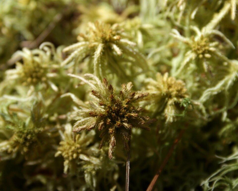 Fotografia przedstawia kilka srebrzysto zielonych roślin ocienkich listkach iłodyżkach. Na szczycie kępka ciemniejszych, brązowawych liści. To mech torfowiec brunatny.
