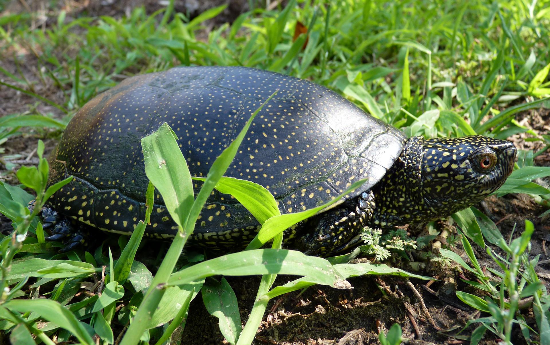 Fotografia przedstawia okaz czarnego, żółto nakrapianego żółwia błotnego. Jego strefa ochronna to 200 metrów od strefy rozrodu iregularnego przebywania. Wokresie od 1 marca do 30 września obowiązuje zwiększona do 500 metrów częściowa strefa ochronna.