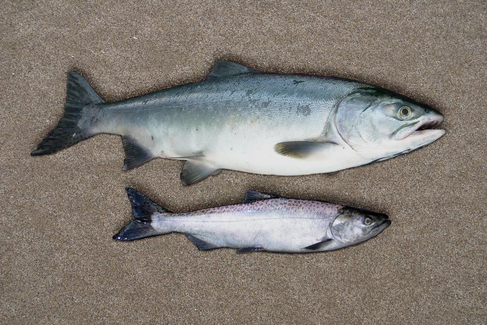 Fotografia przedstawia dwie srebrzyste ryby zciemniejszymi płetwami. Łosoś na górze jest większy ijednolicie ubarwiony. Łosoś na dole jest mniejszy, askórę na grzbiecie ma liliową zplamami. Większa ryba została zmodyfikowana genetycznie.