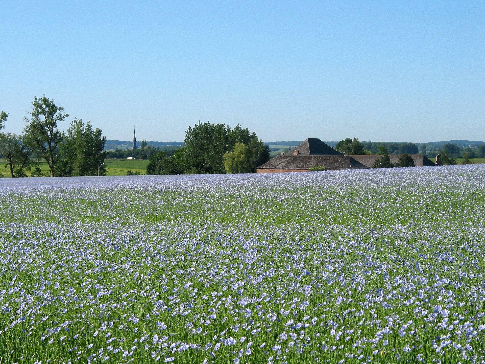 Na zdjęciu pole lnu. Pole porośnięte zielonymi roślinami, fioletowe kwiaty. Wtle dachy zabudowań ipojedyncze drzewa, dalej lasy.
