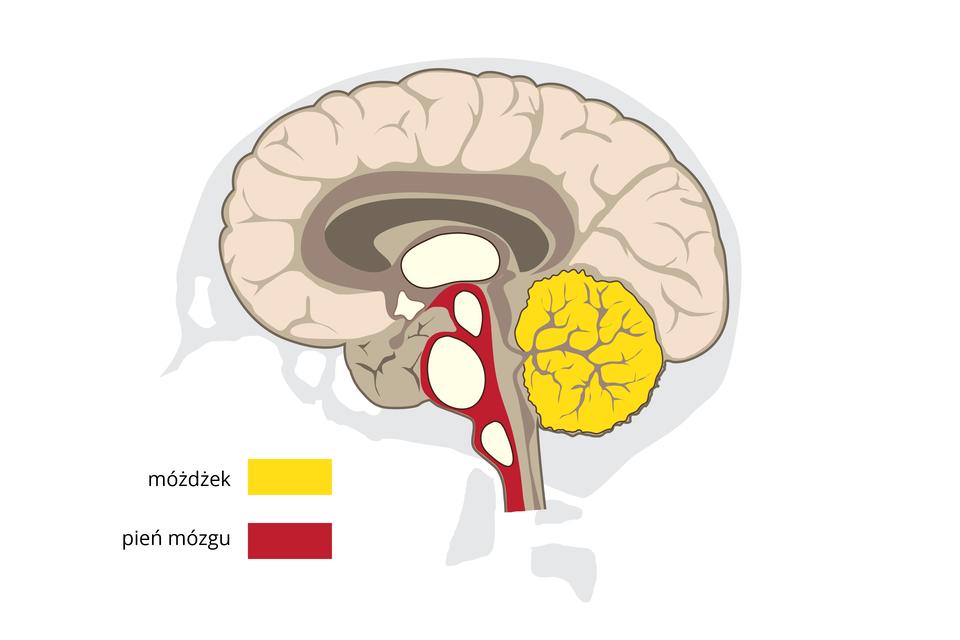 Ilustracja przedstawia mózgowie wprzekroju pionowym. Ugóry liliowe zwoje kory mózgowej. Kolorem żółtym oznaczono pofałdowany móżdżek, pień mózgu jest czerwony zbiałymi komorami.