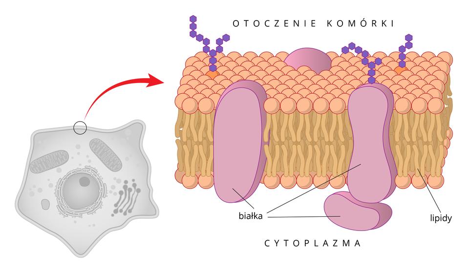 Ilustracja przedstawia budowę błony komórkowej. Błona składa sie z2 warstw cząsteczek lipidów , których kuliste części zwrócone są na zewnątrz, aogonki do środka. pomiędzy nimi są duże cząsteczki białek, wystające zobu stron zbłony.