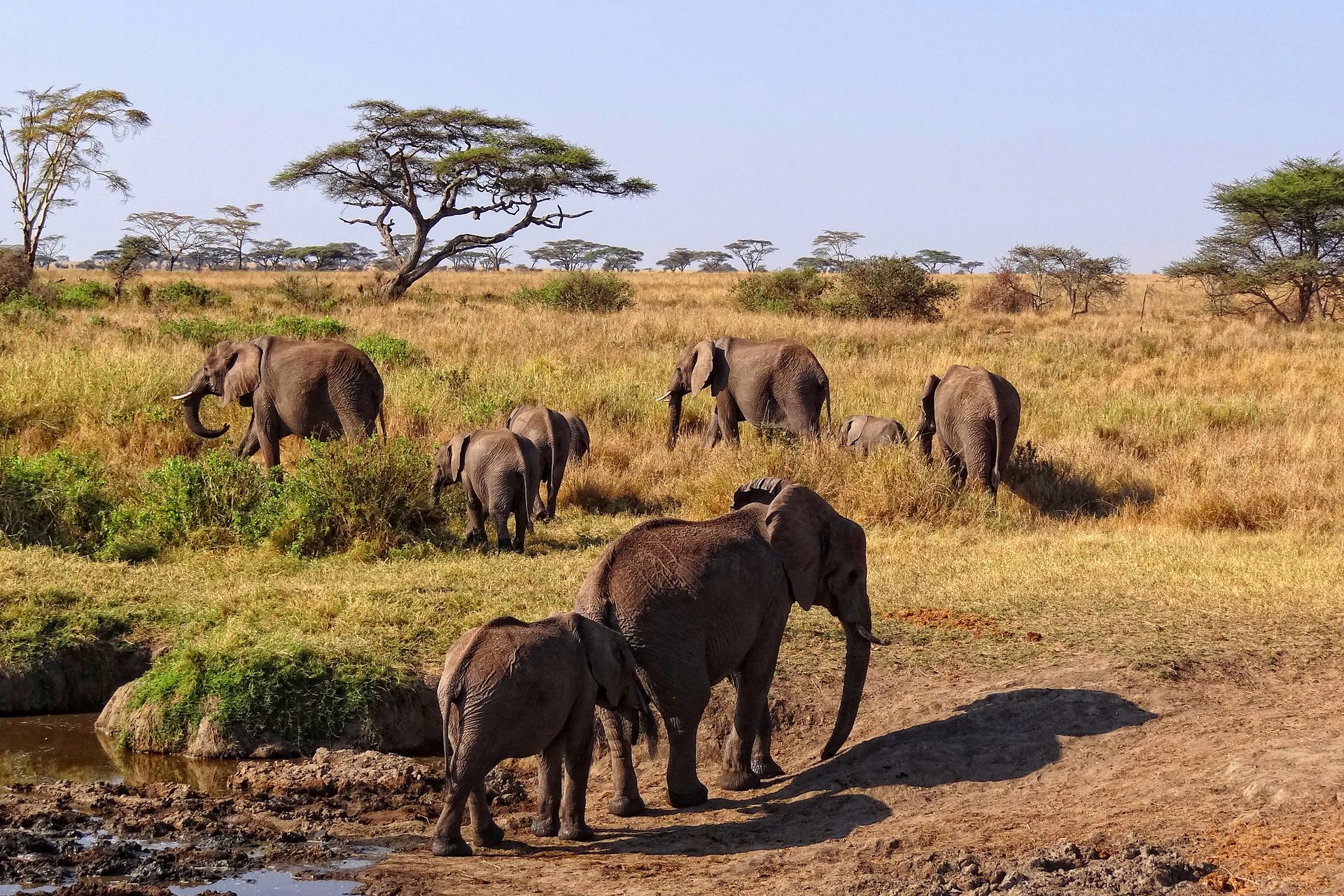 Fotografia prezentuje stado słoni wędrujące po sawannie. Na pierwszym planie słonica zmłodym słoniem odchodzi od wody. Woddali trzy inne słonice zmłodymi idące na tle parasolowatych akcji.