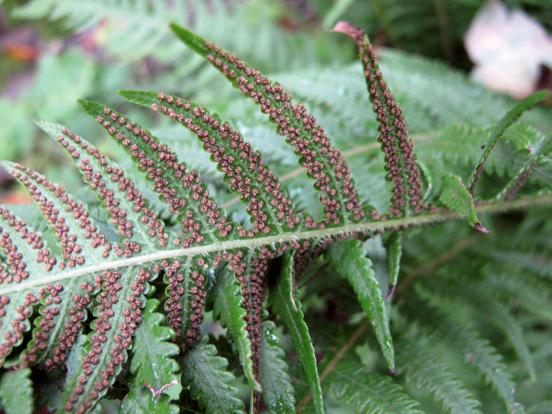Fotografia przedstawia odwrócony spodem do góry liść paproci. Na nim znajduje się wiele brązowych bryłek, czyli skupisk zarodni.