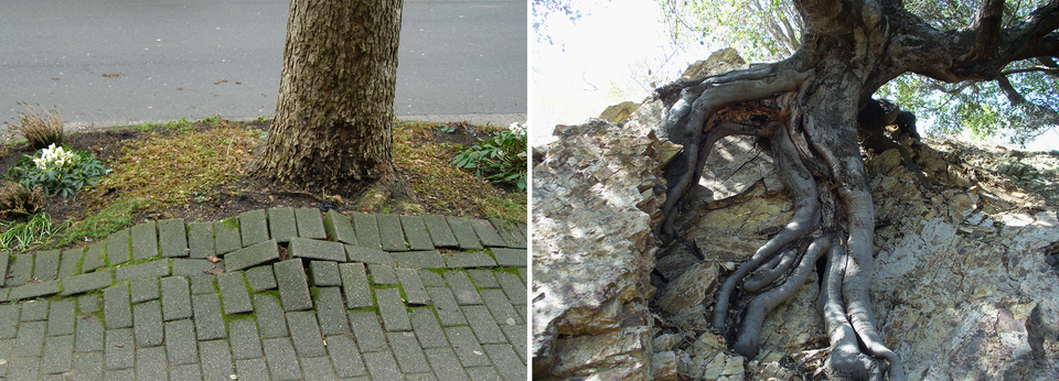 Dwa zdjęcia przedstawiające korzenie rozsadzające podłoże, na pierwszej fotografii przez korzenie drzewa rozsadzony został chodnik, na drugiej skała
