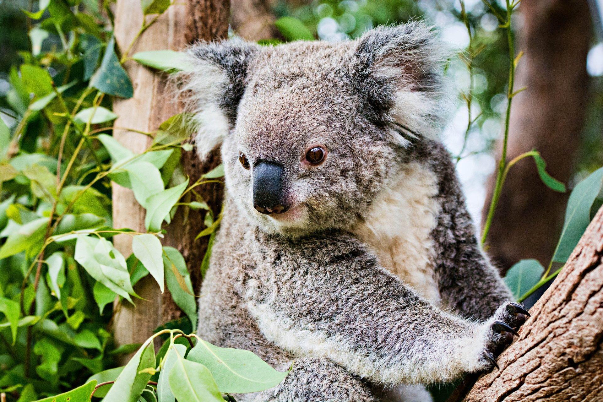 Fotografia przedstawia szarego misia koala, siedzącego na drzewie. To drzewo to eukaliptus. Koala żywi się wyłącznie liśćmi eukaliptusa.