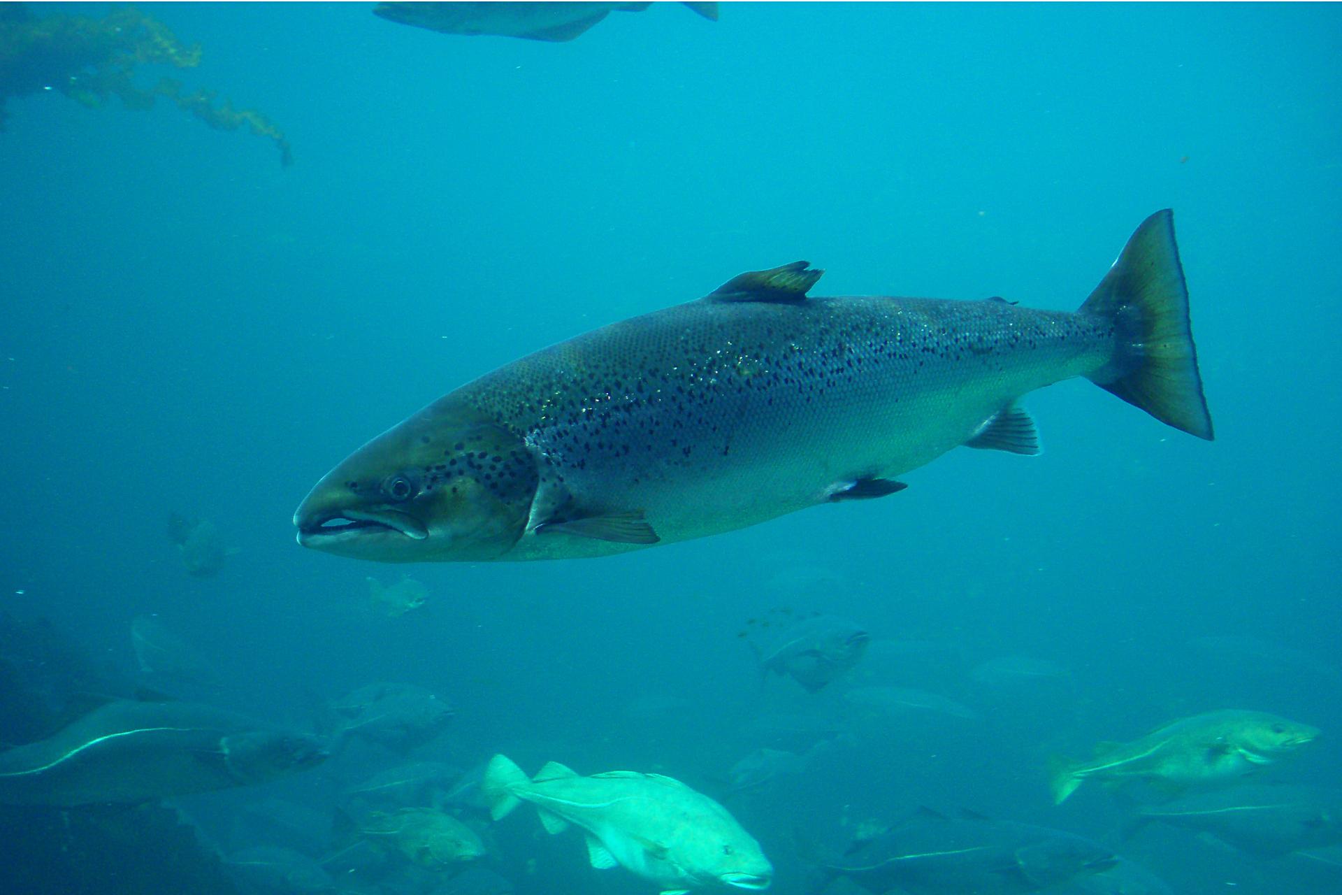 Zdjęcie łososia wmorzu. Ryba ma wydłużone ciało. Płetwa ogonowa ma kształt trójkąta.