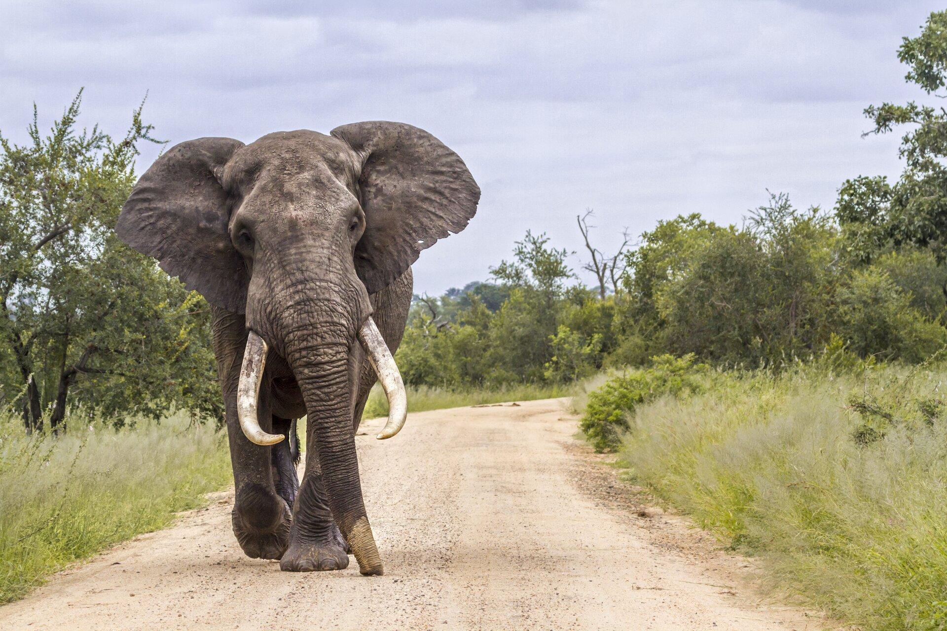 """Ilustracja przedstawia ssaka zrodziny słoniowatych. Camille Saint-Saëns wswoim cyklu """"Karnawał zwierząt"""" poświęcił jeden zutworów słoniowi, starając się oddać ruch zwierzęcia za pomocą niskiego brzmienia kontrabasu."""