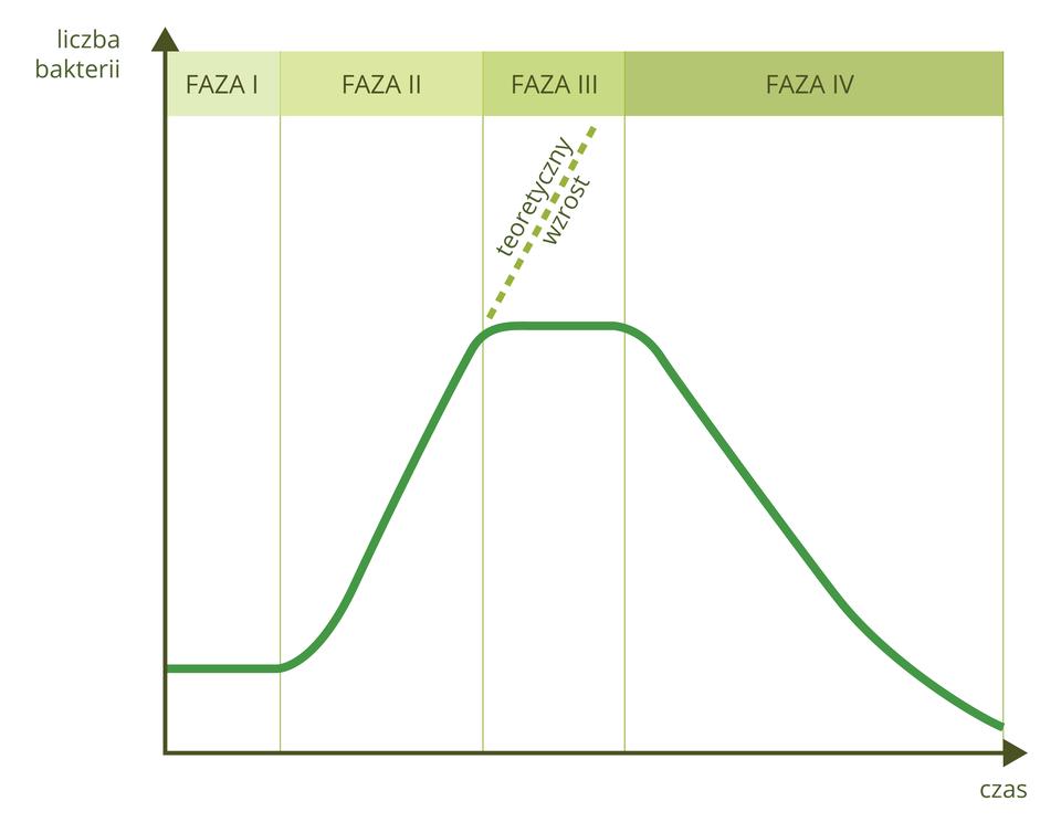 Ilustracja przedstawia wykres liniowy. Osie wykresu nie mają podziałek. Oś Yoznacza liczbę bakterii, oś Xoznacza czas. Przestrzeń pomiędzy osiami jest podzielona na cztery nierówne kolumny, opisane ugóry na oliwkowym tle jak fazy: od pierwszej do czwartej. Ciemnozielona linia wznosi się wfazie drugiej, stabilizuje wtrzeciej ispada wczwartej. Wfazie drugiej linią przerywaną zaznaczono teoretyczny wzrost.