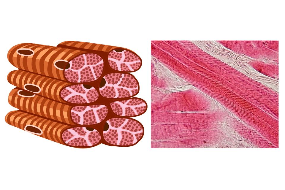 Trzy ilustracje przedstawiają rodzaje tkanki mięśniowej. Każda ilustracja składa się zrysunku iobrazu mikroskopowego. Tkanka mięśniowa poprzecznie prążkowana szkieletowa. Komórki mają kształt walców poukładanych na sobie. Są jasnobrązowe wciemniejsze pasy. Wprzekroju walców są różowe owale zciemnymi plamkami. Pomiędzy nimi jasne wypełnienie. Obraz mikroskopowy przedstawia kilka długich, ukośnych różowych pasm. Obok pasma poziomo. Między nimi białe, sfalowane wypełnienie.
