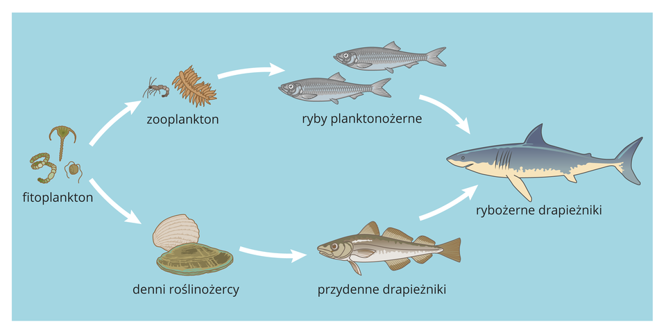 Ilustracja przedstawia schematycznie na błękitnym tle morza dwa łańcuchy pokarmowe zudziałem ryb. Białe strzałki oznaczają, co jest dla kogo pokarmem. Oba łańcuchy zaczynają się zlewej od zielonkawego fitoplanktonu. Wgórnym kolejne ogniwo to brązowy zooplankton, dalej dwie szare ryby planktonożerne izprawej szaro – biały rekin jako przedstawiciel rybożerców. Wdolnym łańcuchu drugim ogniwem są denni roślinożercy, na przykład małże. Są one pokarmem szaro – brązowego przydennego drapieżnika. On jest zjadany przez rybożercę.