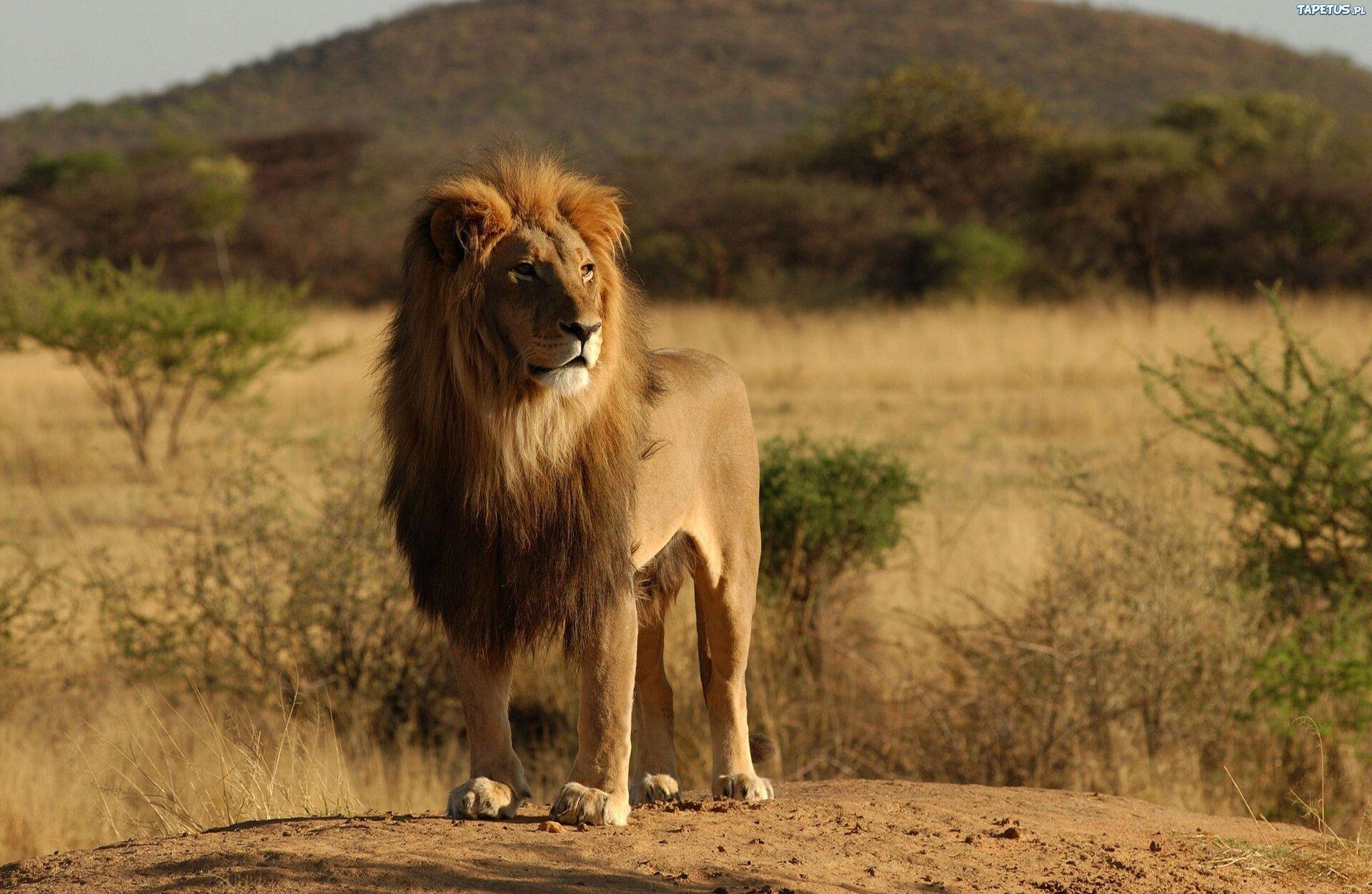Fotografia przedstawia samca lwa zprzodu. Stoi na szczycie wzniesienia na mocnych łapach. Ma żółtą sierść ipotężną, gęstą grzywę, wktórej ukryte są uszy. Rozgląda się uważnie. Wtle sawanna zkilkoma akacjami izbocze góry.