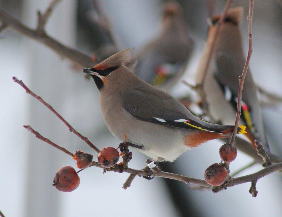 Zdjęcie przestawia żerującego ptaka na jarzębinie. Przedstawiony ptak to jemiołuszka. Pióra ptaka mają kolor jasnobrązowy. Wcentralnej części zdjęcia ptak zjada czerwony pojedynczy owoc jarzębiny. Jest to mała czerwona kulka, którą ptak trzyma wdziobie. Głowa ptaka skierowana jest wgórę. Pozycja głowy idzioba ułatwia połknięcie owocu jarzębiny. Pióra na skrzydłach są czarne, białe iżółte. Wokół oka ipod dziobem znajdują się czarne pióra. Po lewej iprawej stronie ptaka znajdują się pozbawione liści gałęzie jarzębiny, na których wiszą owoce. Wtle zdjęcia niebieskie niebo.