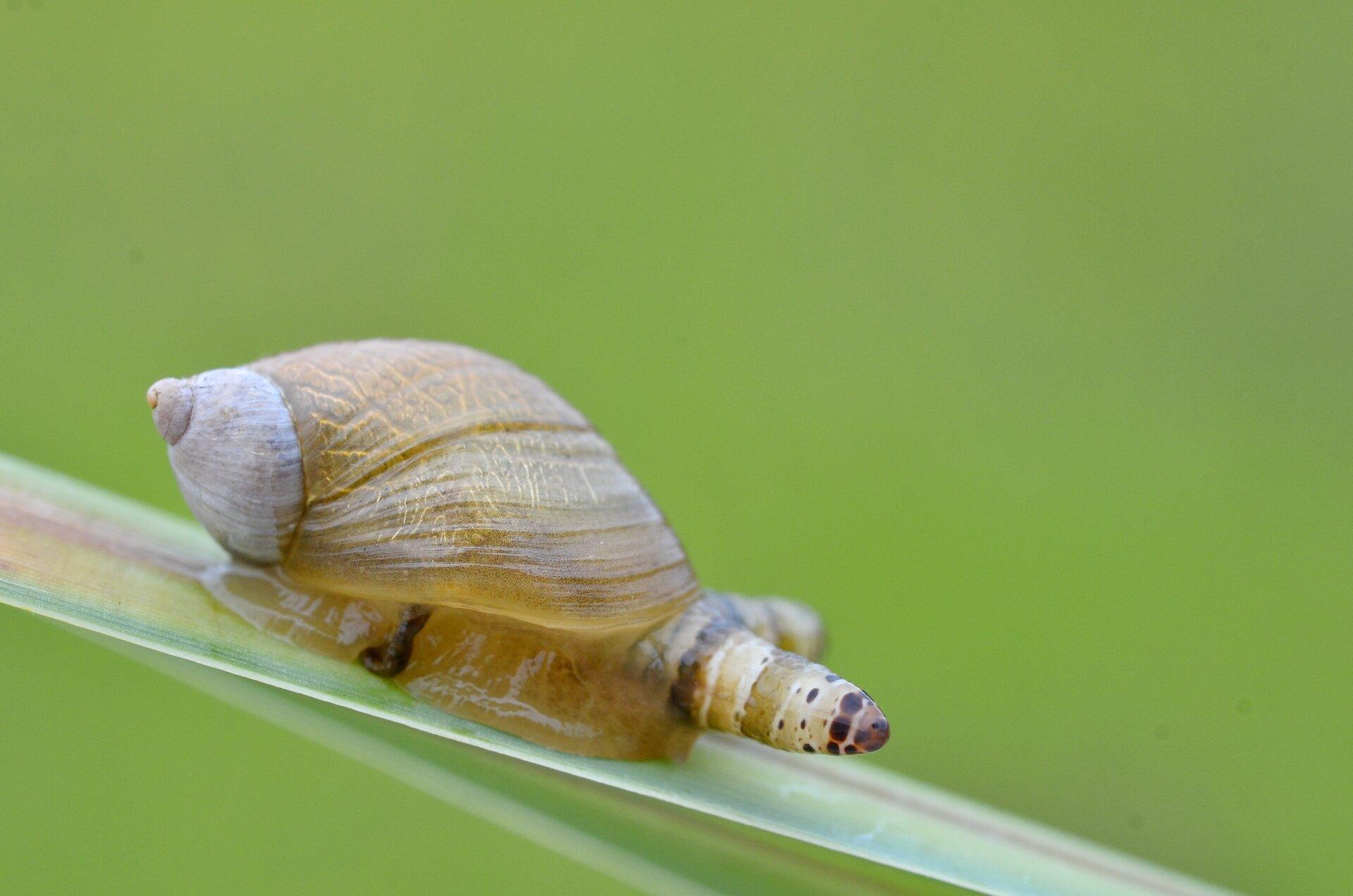 Fotografia przedstawia zbliżenie żółtego ślimaka bursztynki, pełznącego wprawo po liściu trawy. Jeden jego czułek jest bardzo gruby, wjasne paski ibrązowe plamki. Wtym czułku rozwija się przywra.