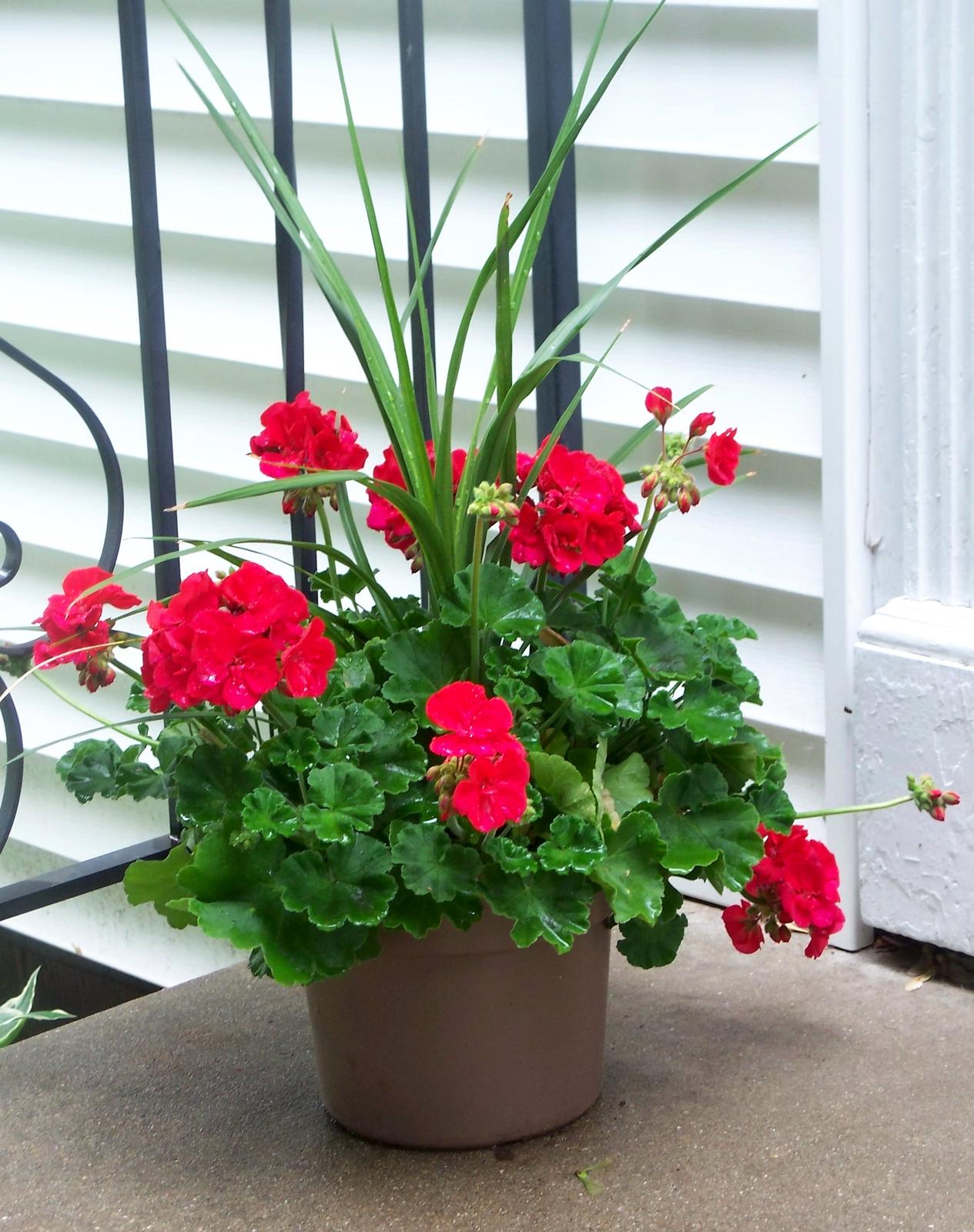 Fotografia prezentuje pelargonię zczerwonymi kwiatami rosnącą wdoniczce na parapecie.