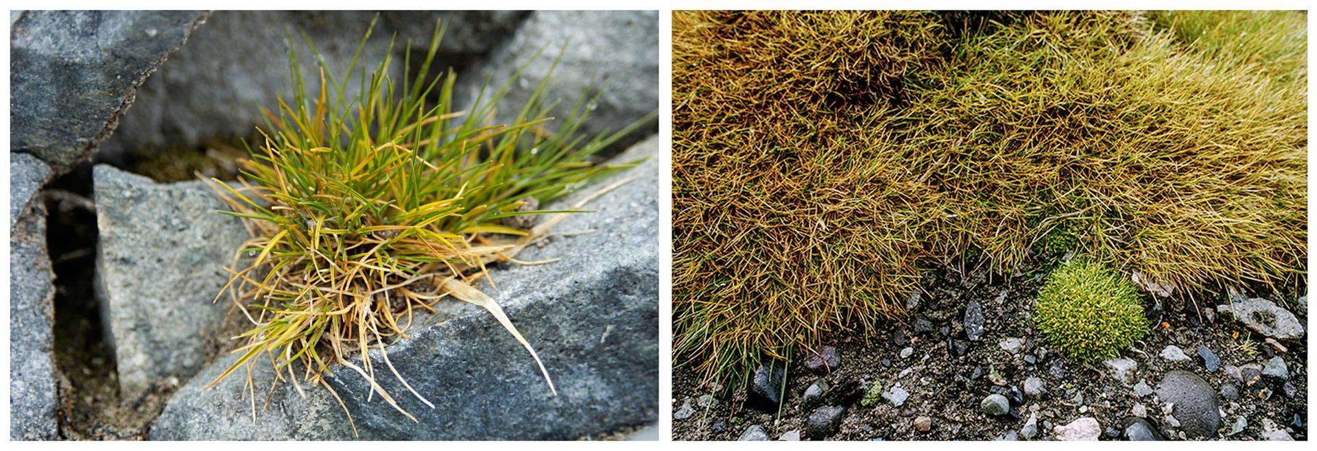 Dwie fotografie prezentują kępki trawy śmiałka arktycznego. Fotografia po lewej stronie, to pojedyncza kępka niskiej, zielonej trawy rosnąca na fragmencie skały. Fotografia obok, to widziany zgóry fragment większego skupiska śmiałka arktycznego.