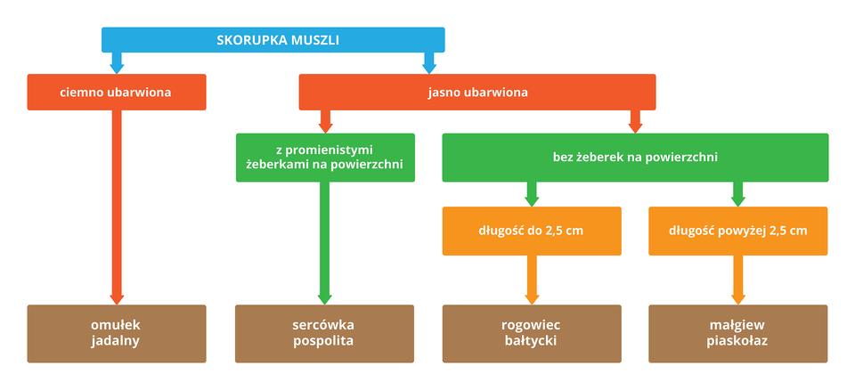 Ilustracja przedstawia wformie kolorowych prostokątów klucz do oznaczania krajowych gatunków małży. Wprostokąty wpisano cechy skorupki muszli. Czerwone oznaczają intensywność zabarwienia. Zielone obecność lub brak żebrowania. Pomarańczowe oznaczają długość muszli. Brązowe zawierają nazwy gatunkowe małży. Strzałki pozwalają na identyfikację gatunku po wybranych cechach.